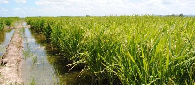 Vale do Paraíba se destaca pela produção de arroz